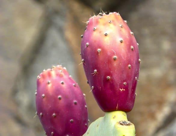 Olie fra kaktusplante